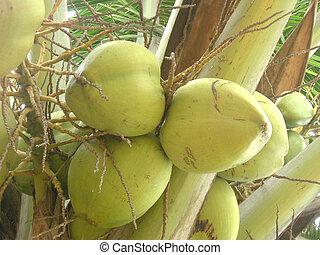 Coconuts - Coconut bunch