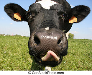 Cow - A close up of a cows head The cow is sticking out its...
