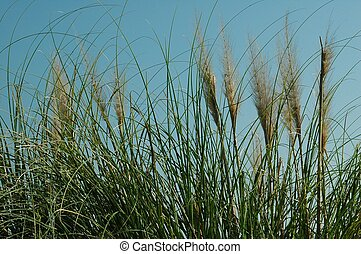 Sea Oats - photographed at St Augustine, Florida