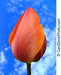 Bud of a tulip on a background of the sky and clouds