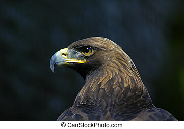 Golden eagle profile