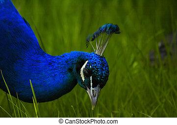 peacock - Peacock grazing