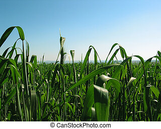 wheat field - a wheat field in Braga city, Rio Grande do...