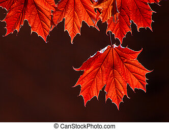 Maple leaves - Backlit maple leaves in a dark background