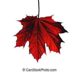 Maple leaf - Isolated red maple leaf