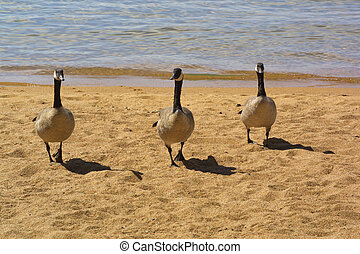 Canadian Honkers on a walk at the lake