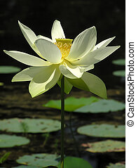 Lotus - A lotus with water and lily pad background