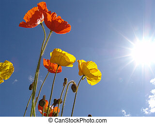 poppy in the sun - red, orange and yellow blossoms in front...