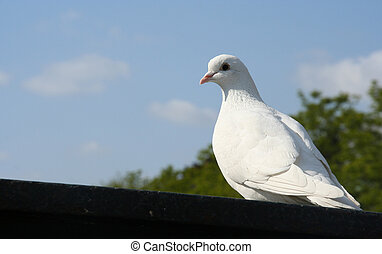 Pigeon - A white pigeon against blue sky background