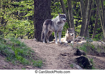 Pair of wolves - Pair of resting grey wolves