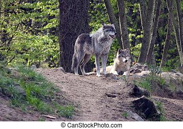 par, lobos