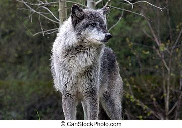 Dominant wolf posing - Dominant grey wolf posing for...