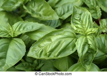 Basil - Leaves of the herb Basil, showing various stages of...