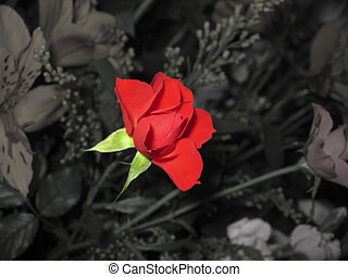 Past & Presence - A red rose in a bouquet, isolated in black...