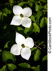 Dogwood 1 - A pair of dogwood blooms