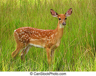Whitetail Fawn - A whitetail fawn in long grass.