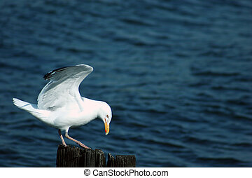 Bow To Your Partner - Seagull doing a curtsy Im surprised i...
