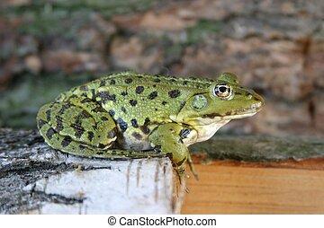 Frog - Resting frog