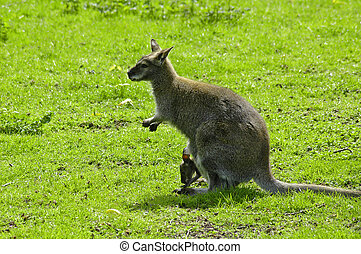 Joey - Wallaby and baby