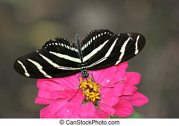 Butterfly 2 - Zebra butterfly