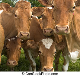 Here's looking at you - Group of cows having a stare