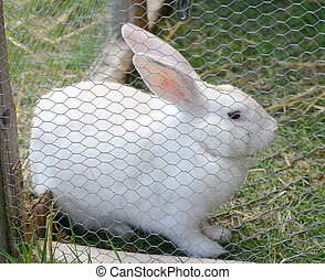 Rabbit - White rabbit in her outdoor cage