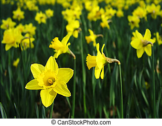 Field of Daffodils in Somerset England