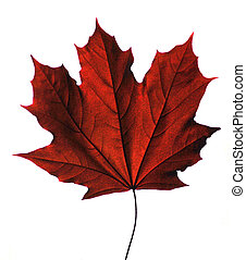 Maple leaf - Isolated red maple leaf, slightly stylized