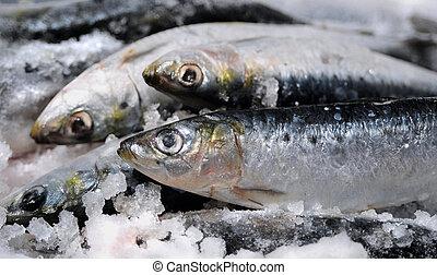 frais,  sardines