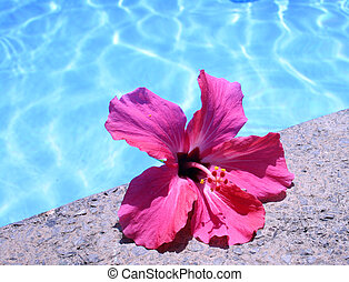 Poolside Hibiscus - Pink flower by the side of blue pool