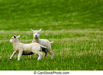 Spring lambs - lambs playing in a field