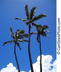 Triple Tall - 3 Royal Coconut Palms against a deep blue sky...