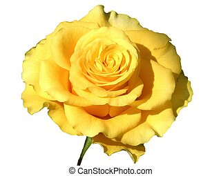 Yellow rose - design element