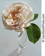 creamy rose - her name is cymbaline and her smell incredible...