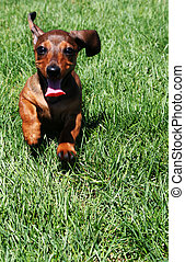 Running Puppy 2 - A very cute dachshund puppy - 3 months old...