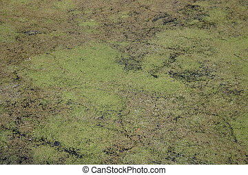 Algae carpet - Green algae sheet on water