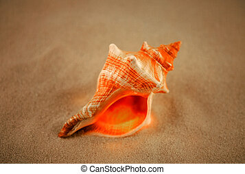 Stripped Fox - a sea-shell layin in the sand,shallow d of f...