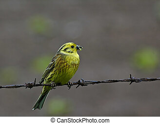 yellowhammer - Bird on a wire