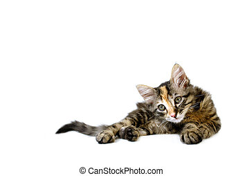 Alert Kitten - Kitten isolated on white background