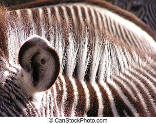 Zebras - A close-up of three zebras but only one ear