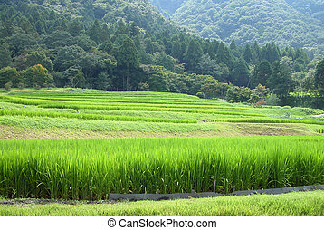 Rice Field - Green nuances in a Japanese rice filed between...