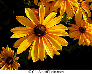 Brown eyed Susan - brown eyed Susans in a garden