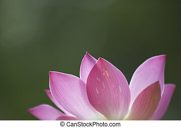 Lotus Flower - A pink lotus flower on a green background
