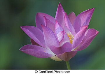 Lotus Flower - A purple flower of the lotus