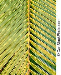 Coconut palm leaf