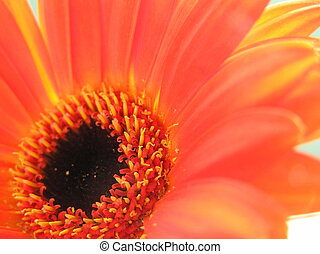 gerbera daisy - macro shot of the heart of a very bright...