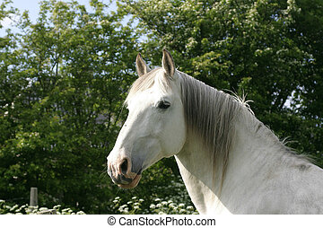 White horse - Looking white horse