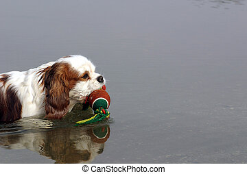 Swimming dog - Cavelier King Charles