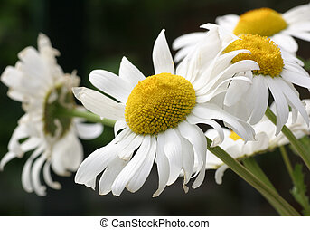 Marguerites - Garden flowers