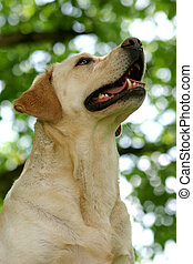 Happy Dog Face - Labrador retriever looking up, under the...